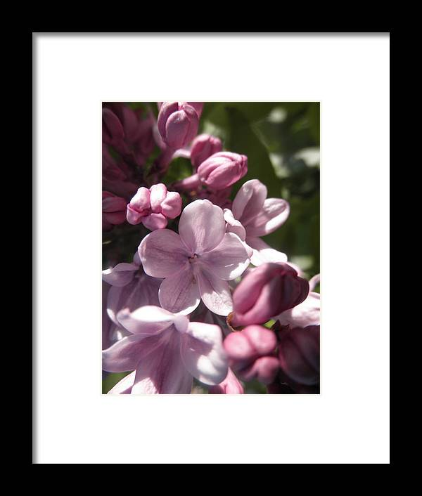 Lilac Framed Print featuring the photograph Purple Lilac by Jesse Woodward