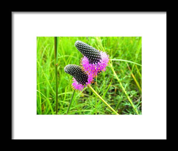 Flower Framed Print featuring the photograph Purple Pair by Mark Hudon