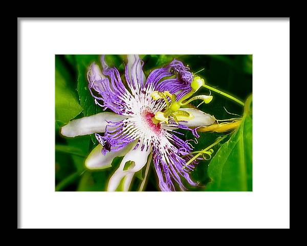 Passion Flowers Framed Print featuring the photograph Purple Passion by Phyllis Dunn