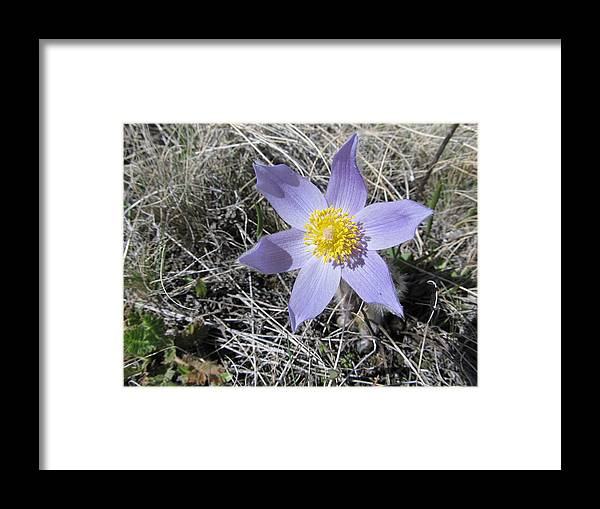 Wildflower Framed Print featuring the photograph Purple Petal Majesty by Jesse Woodward