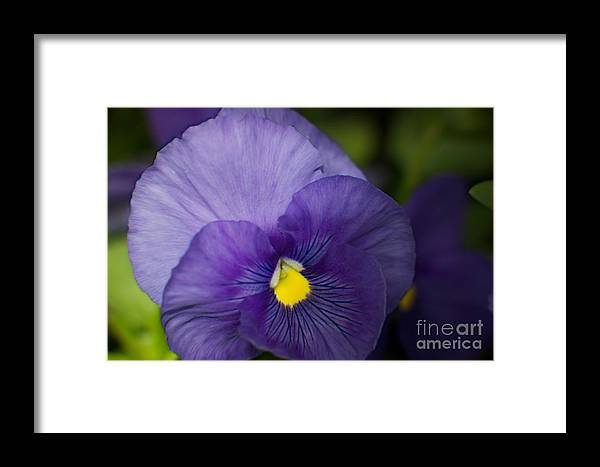 Petunia Framed Print featuring the photograph Purple Petunia by June Hatleberg Photography