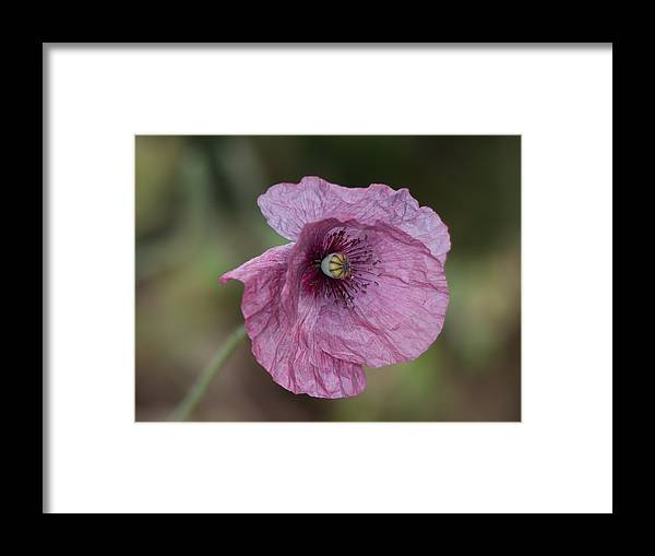 Beth Chatto Framed Print featuring the photograph Purple Poppy by Sean Foreman