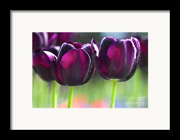 Tulip Framed Print featuring the photograph Purple Tulips by Heiko Koehrer-Wagner