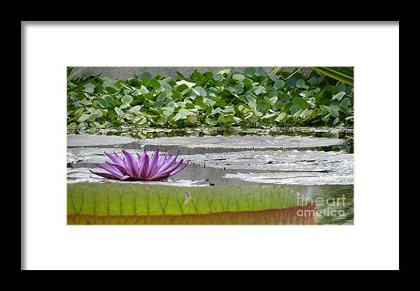 Nature Framed Print featuring the photograph Purple Water Lily  by Anita Adams