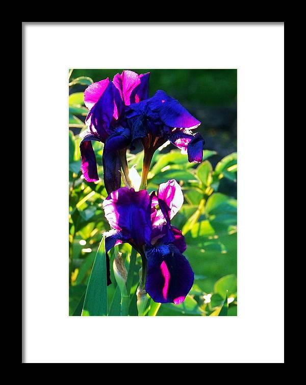 Gardens Framed Print featuring the photograph Purplr Iris Shines by Al Fritz