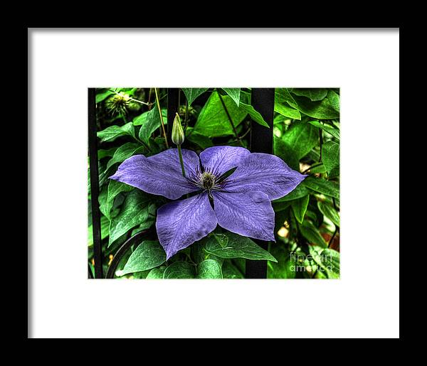 Clematis Framed Print featuring the photograph Pushing Through by Chris Fleming