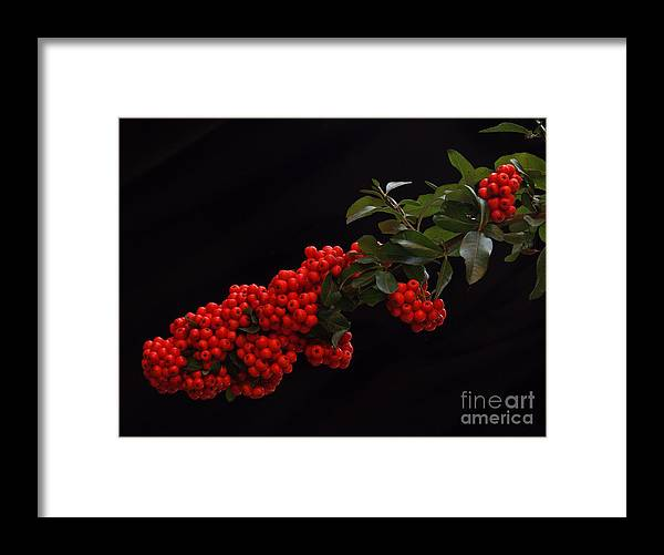 Winter Framed Print featuring the photograph Pyracantha Berries On Black - Pennsylvania by Anna Lisa Yoder