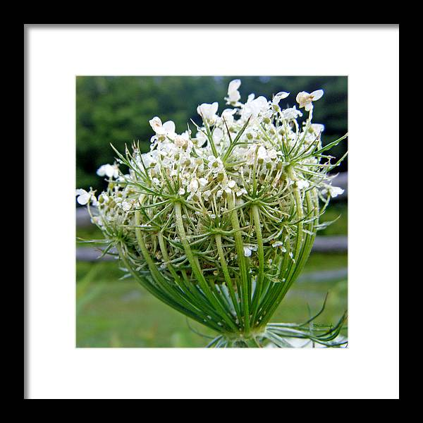 Duane Mccullough Framed Print featuring the photograph Queen Anne's Lace Flower Unfolded by Duane McCullough