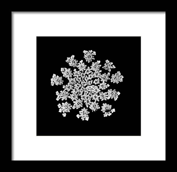 B&w Framed Print featuring the photograph 'queen Anne's Snowflake' by Liza Dey