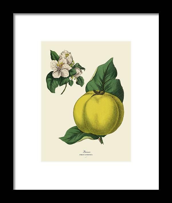 1880-1889 Framed Print featuring the digital art Quince Fruit Tree, Victorian Botanical by Bauhaus1000