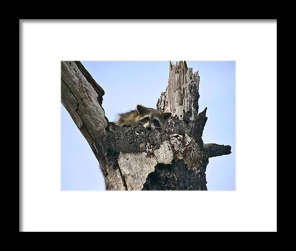 Animal Photography Framed Print featuring the photograph Raccoon Waiting. Lake Marion Creek W.m.a. by Chris Kusik