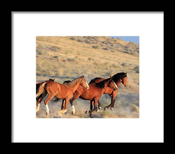 Wild Framed Print featuring the photograph Race For Water by Gene Praag