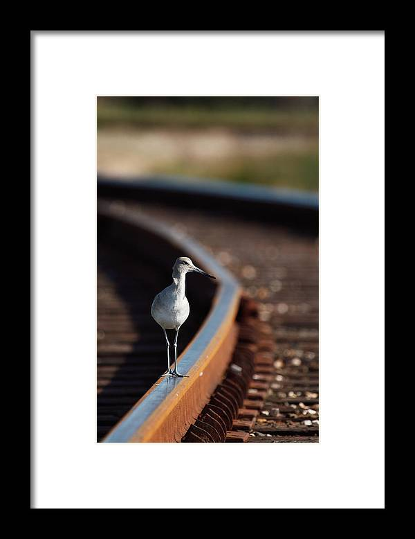 Willet Framed Print featuring the photograph Railroaded Willet by Andrew McInnes