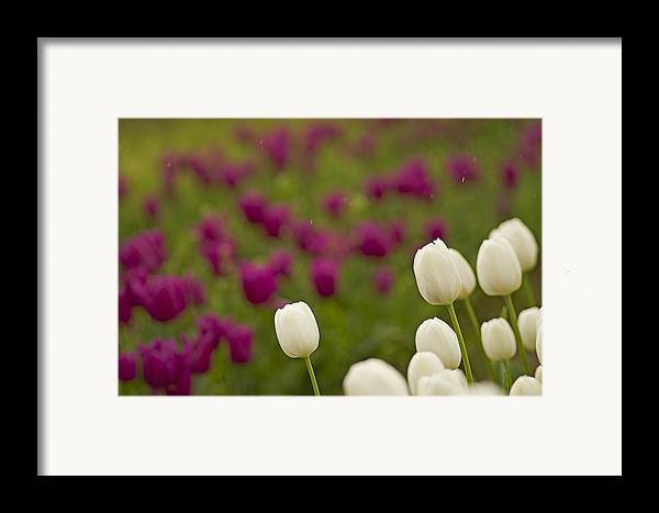 Pacific Framed Print featuring the photograph Rain Drops Keep Falling On My Tulips by Nick Boren