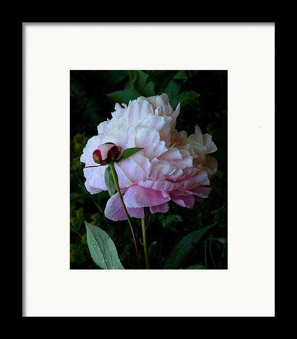 Peony Framed Print featuring the photograph Rain-soaked Peonies by Rona Black