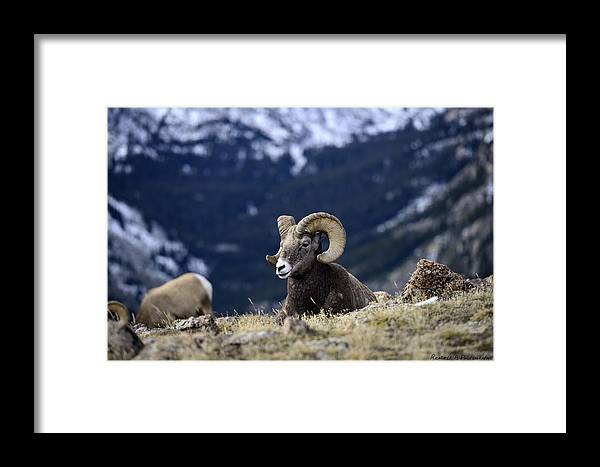 Rams Framed Print featuring the photograph Ram Resting by Rendell B