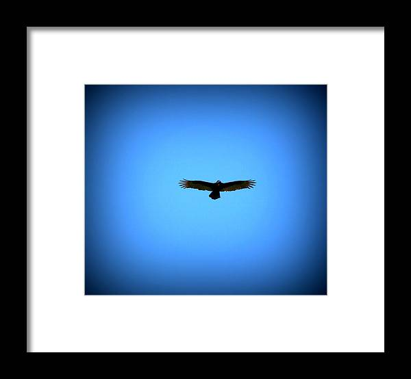 Turkey Vulture Framed Print featuring the photograph Raptor on the hunt by Lisa Rose Musselwhite