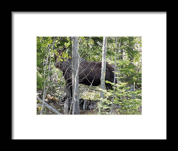 New England Framed Print featuring the photograph Raspberry Moose by Gene Cyr