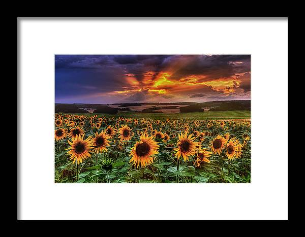 Sommer Framed Print featuring the pyrography Rays Of Sunflowers by Steffen Gierok