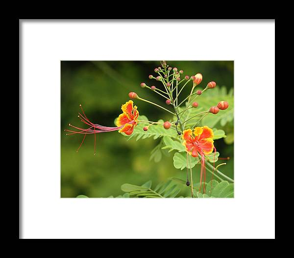 Butterfly Framed Print featuring the photograph Reaching by Chuck Hicks