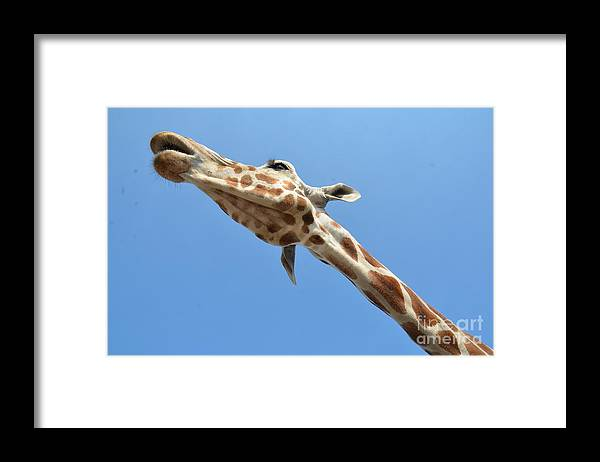 Giraffe Framed Print featuring the photograph Reaching for the Sky by Randy J Heath