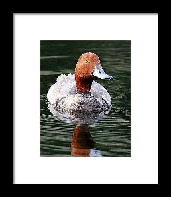 Duck Framed Print featuring the photograph Readhead by Ira Runyan