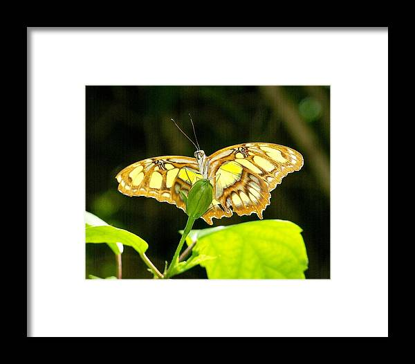 Butterfly Framed Print featuring the photograph Ready For Flight by Brad Mayer