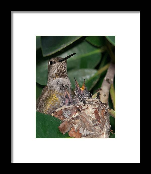 Baby Birds Framed Print featuring the photograph Ready For Lunch by Dennis Reagan