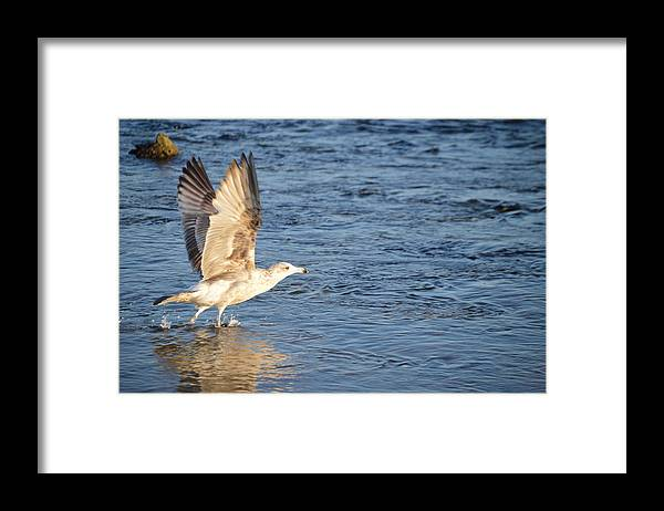 Herring Gull Framed Print featuring the photograph Ready for Take Off by Jessica Cruz