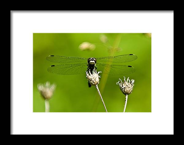 Dragonfly Framed Print featuring the photograph Ready For Takeoff by Paul Johnson