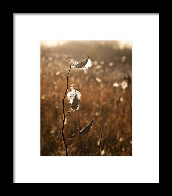 Milkweed Framed Print featuring the photograph Ready To Fly by Bonnie Rom
