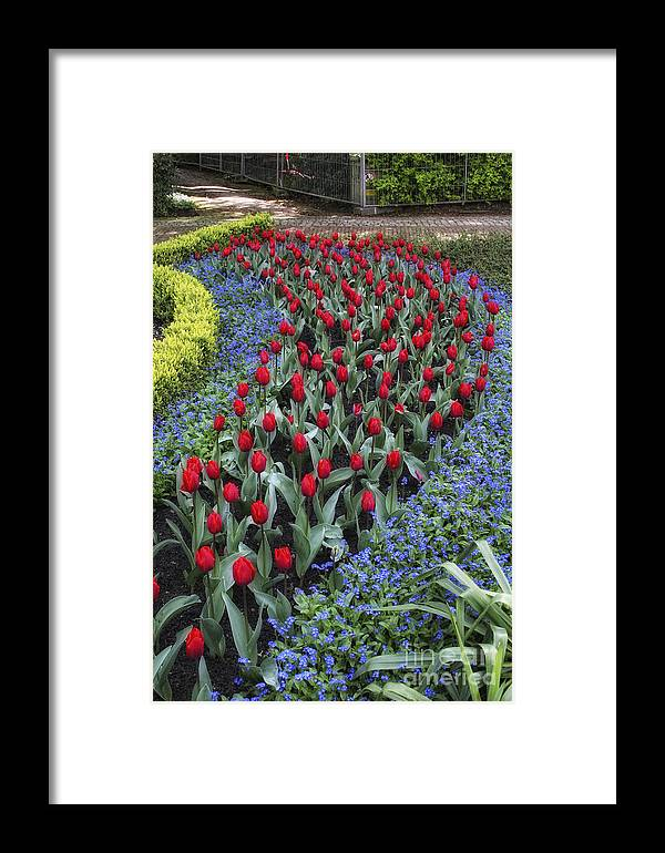 Tulips Framed Print featuring the photograph Red And Blue by Timothy Hacker