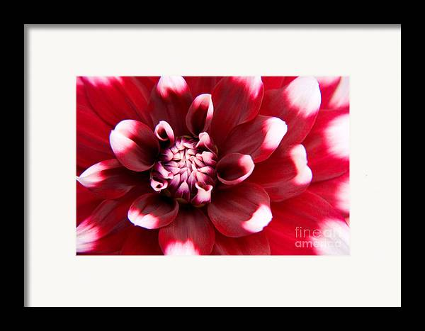Flower Framed Print featuring the photograph Red And White Fubuki Dahlia by Julia Hiebaum