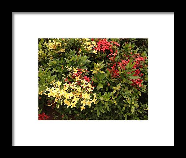 Red Framed Print featuring the photograph Red And Yellow In St Lucia by Ron Torborg