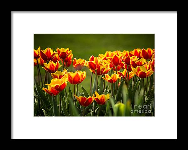 Tulips Framed Print featuring the photograph Red And Yellow Tulips II by Mary Smyth