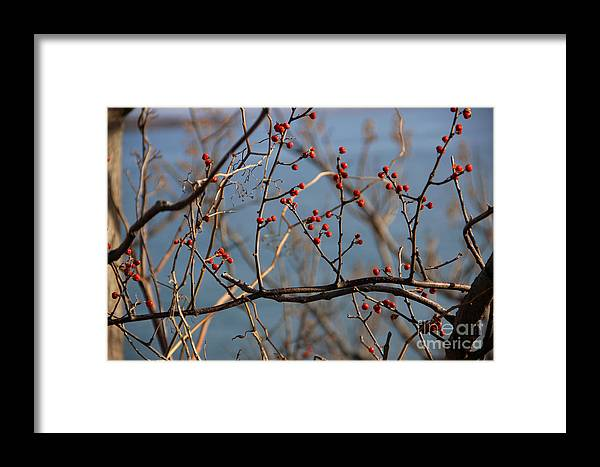 Winter Framed Print featuring the photograph Red Berries by Michael Mooney