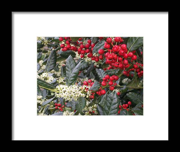 Red berries white flowers green leaves framed print by wide awake arts holly framed print featuring the digital art red berries white flowers green leaves by wide awake mightylinksfo