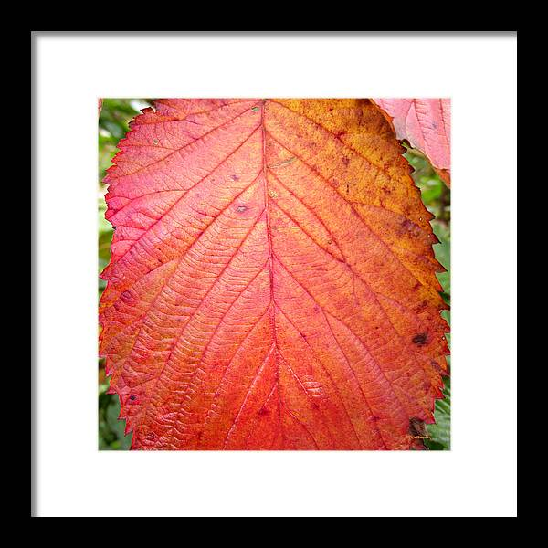 Duane Mccullough Framed Print featuring the photograph Red Blackberry Leaf by Duane McCullough