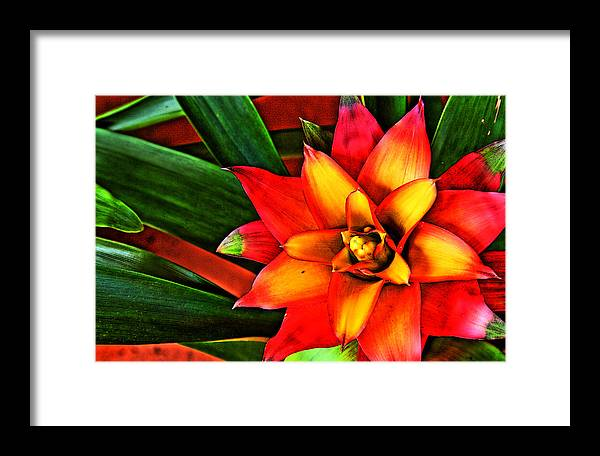 Bromeliad Framed Print featuring the photograph Red Bromeliad by Shannon Scott