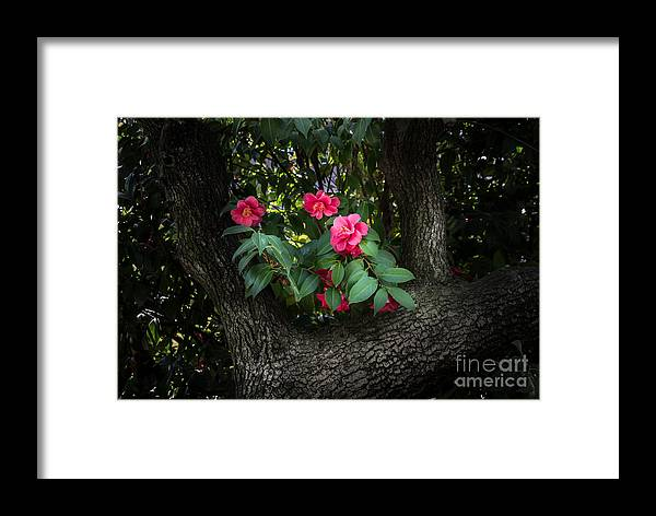 Red Camellias Framed Print featuring the photograph Red Camellias by Mitch Shindelbower