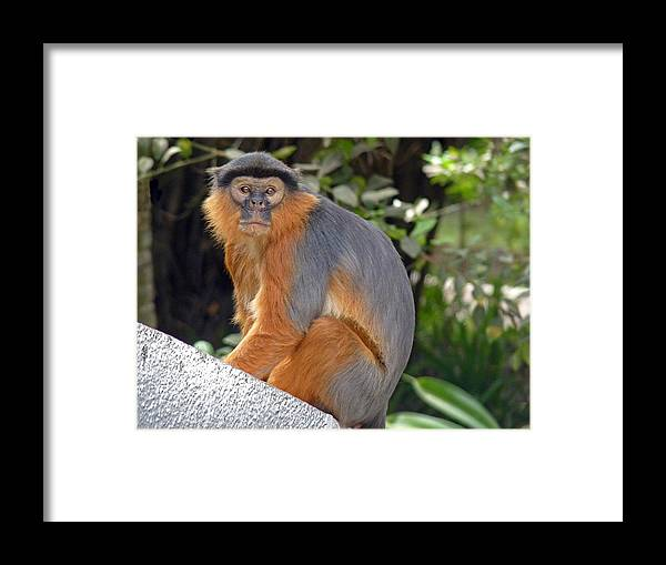 Red Colobus Monkey Framed Print featuring the photograph Red Colobus Monkey by Tony Murtagh