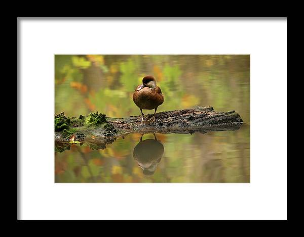 Wildlife Framed Print featuring the photograph Red Crested Pochard Female Netta Rufina by David Santiago Garcia