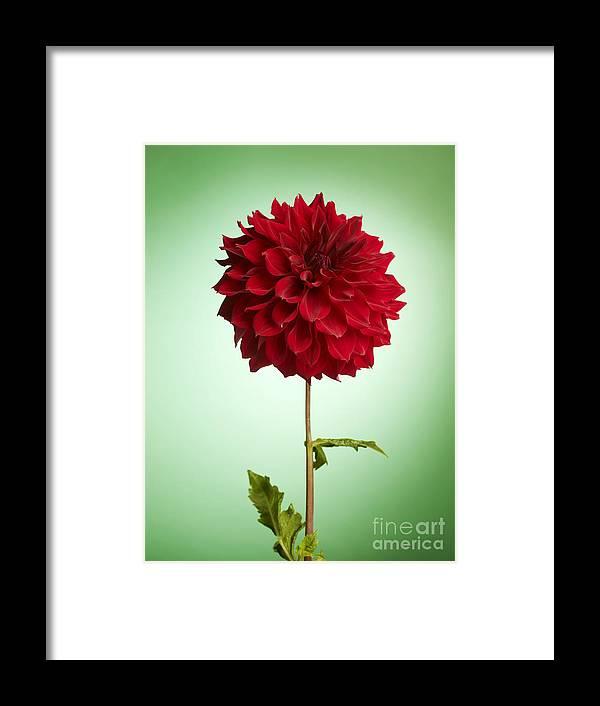 Dahlia Framed Print featuring the photograph Red Dahlia by Tony Cordoza