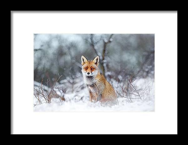 Fox Framed Print featuring the photograph Red Fox Blue World by Roeselien Raimond