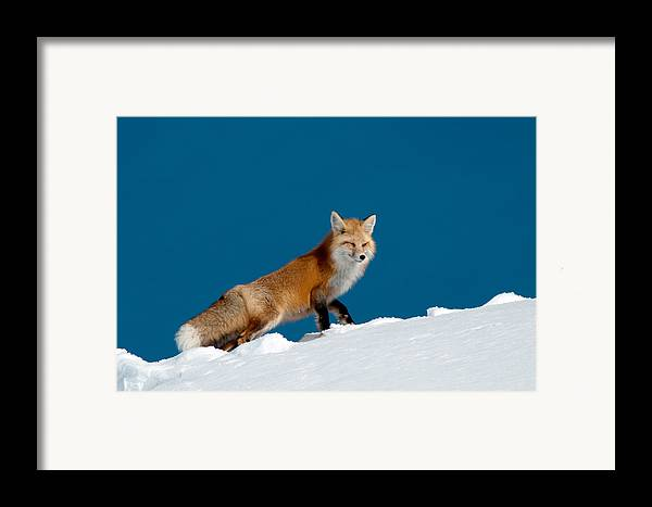 Red Fox Framed Print featuring the photograph Red Fox by Gary Beeler