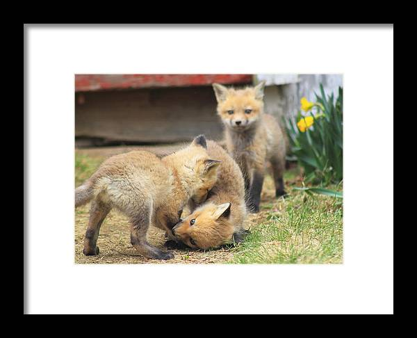 Wildlife Framed Print featuring the photograph Red Fox Kits Playing by John Burk