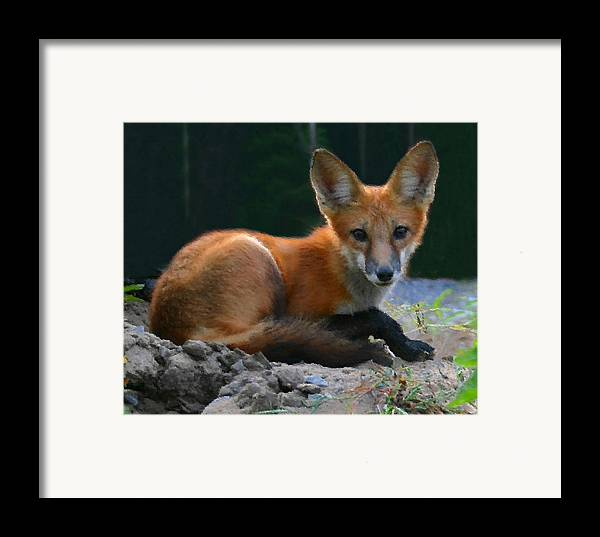 Red Fox Framed Print featuring the photograph Red Fox by Kristin Elmquist
