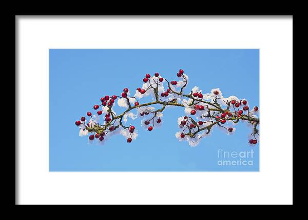 Berries Framed Print featuring the photograph Red Haws Frosted By Snow by Liz Leyden