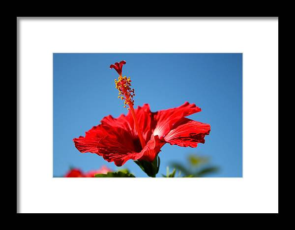 Hibiscus Framed Print featuring the photograph Red Hibiscus by Kimberly Reeves