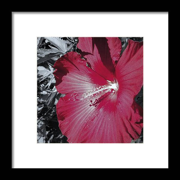 Red Framed Print featuring the photograph Red Hibiscus by Kristine Crook